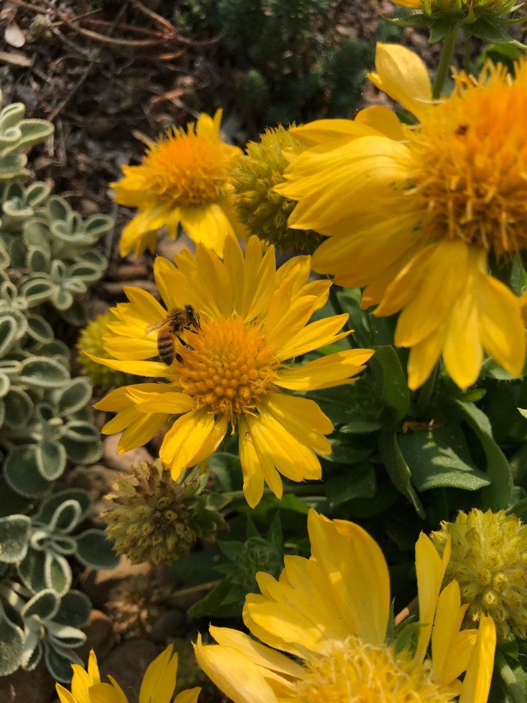 Blanket Flower - Mesa Yellow
