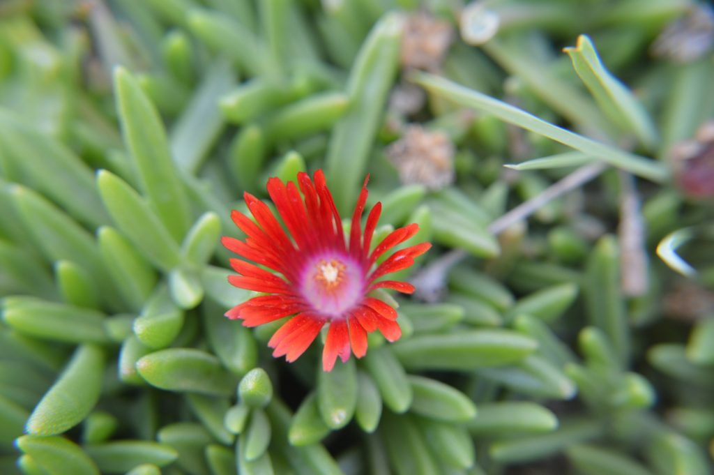 Red Mountain Flame Ice Plant