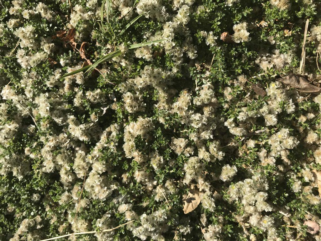 Silver Nailwort